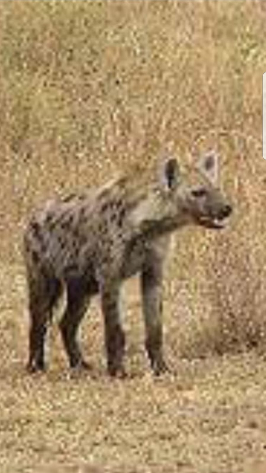 Israel sets hyenas on Palestinians | Stop the Wall